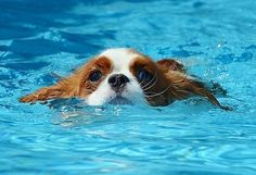 Cavalier King Charles Spaniel..too bad Nocci hates swimming :(