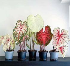 Foliage Plants, Potted Plants, Garden Plants, Indoor Plants, Caladium Garden, Flowering Plants, Inside Plants, Cool Plants, Plantas Indoor