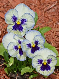 Purple/Blue/White pansies for small garden by stairs to deck
