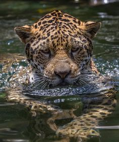 Jaguar cooling off in the water. This spotted cat closely resembles the Leopard, but is usually larger and sturdier. Big Cats, Cute Cats, Cats And Kittens, Beautiful Cats, Animals Beautiful, Chat Lion, Animals And Pets, Cute Animals, Spotted Cat