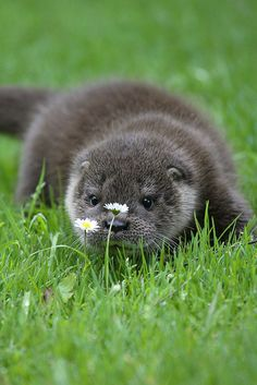 Otter stopping to smell the flowers