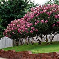 Crepe Myrtles - I have a wall of these the exact same color shielding my back porch as a privacy screen during the summer.  There are now strains that can live in colder climates - check Oklahoma State horticulture department for info.