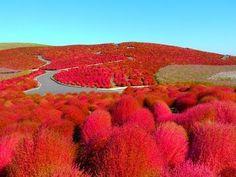 [HD]The most beautiful autumnal leaves in the world(Kochia ) 秋のひたち海浜公園のコ...