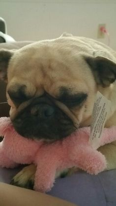 My pug Snuggles, guarding her toy piggy as she sleeps ♡