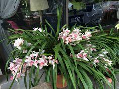 Orquídea de mi jardín