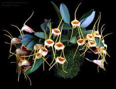 Orchid: Masdevallia strobelii                                                                                                                                                                                 Mais