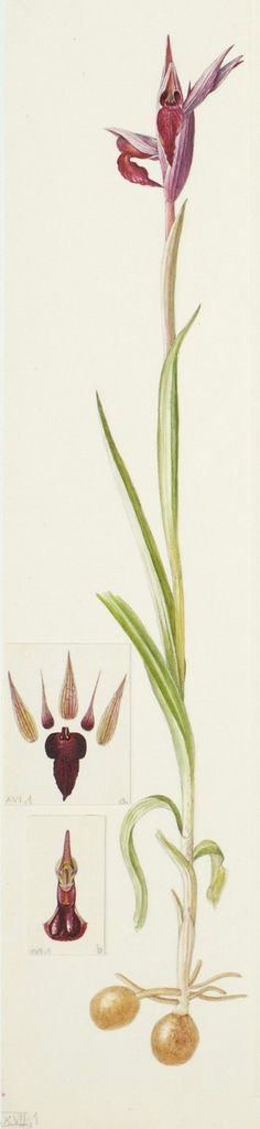 Serapias lingua × pseudocordigera