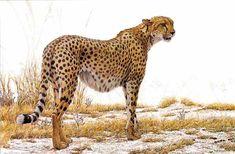 Robert Bateman Cheetah Profile