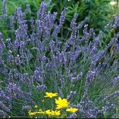(Lavender) Lavendula 'Grosso' has attractive blue-green evergreen foliage. Hundreds of large purple flowers spikes make an incredible display from mid to late summer. 'Grosso' is very fragrant, especially after a rain, and excellent for dried flower arrangements.