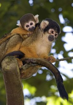 Baby Black-Capped Squirrel Monkey
