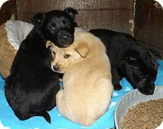 Henderson, NC - Labrador Retriever/Collie Mix. Meet Dinky Pups a Puppy for Adoption.