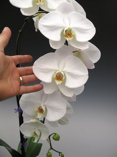 TOP 10 Tips on How to Care for Phalaenopsis Orchids