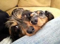 Dachshunds Weenie Dogs, Dachshund Puppies, Dachshund Love, Dachshunds, Doggies, Long Haired Miniature Dachshund, Wire Haired Dachshund, Baby Animals, Cute Animals