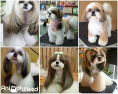 5 Types of Haircuts for a Shih Tzu. The shih tzu is a small dog breed native to Tibet and China, whose name means lion dog. They are characterized by their abundant hair and pleasant. Chien Shih Tzu, Perro Shih Tzu, Shih Tzu Hund, Shih Tzu Poodle, Baby Shih Tzu, Shih Tzu Puppy, Shih Tzus, Dog Grooming Styles, Puppy Grooming