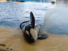 L'orque du loro parque Whale, Animals, Parrot, Parks, Animales, Animaux, Whales, Animal, Animais