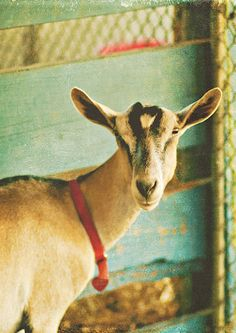 .Rabbit and goat droppings make good garden fertilizer