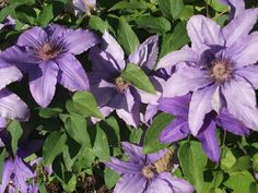 Clematis flower essence can soothe the effects of depression. Flower essences organic lifestyle article