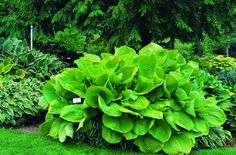 "Hosta 'Sum and Substance' 36"" tall, leaves 18"" x 15"", chartreuse-gold leaves, pale lavender flowers"