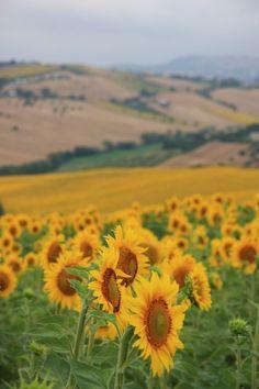 Sunflowers ^_^