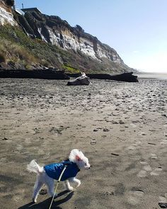 It's a good thing he's not any fluffier right now or he may have just blown away   #fluffydog #beachday #pnwlife - ExplorersAreWe.com