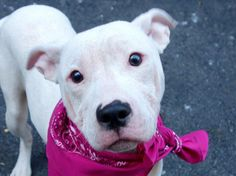 SAFE --- Manhattan Center   WINTER - A0993890  *** SAFER: AVERAGE HOME ***  FEMALE, WHITE, PIT BULL MIX, 1 yr STRAY - STRAY WAIT, NO HOLD Reason STRAY  Intake condition ILLNESS Intake Date 03/13/2014, From NY 10475, DueOut Date 03/16/2014, https://www.facebook.com/photo.php?fbid=772630309416517&set=a.617938651552351.1073741868.152876678058553&type=3&theater