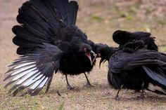 White-winged choughs  (photo by callocephalon photography) | Tumblr