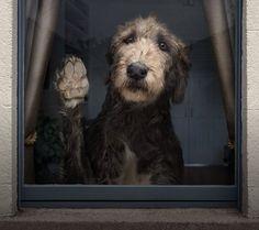 Elias the Wolfhound: Photo