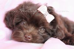 Yorkie Poo Puppies | yorkie poo puppy for sale designer breed puppies south florida yorkie ...