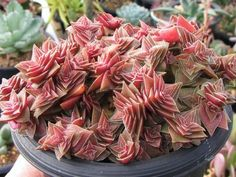 Crassula alpestris is a short-lived, dwarf, perennial succulent that forms a dense clump of stems up to 6 inches cm) tall and spreading. Growing Succulents, Succulents In Containers, Cacti And Succulents, Planting Succulents, Cactus Plants, Planting Flowers, Crassula Succulent, Succulent Terrarium, Water Plants