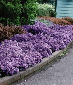Winterharter Bodendecker Aster 'Woods Light Blue', 3 Pflanzen Kissenaster: Amazon.de: Garten