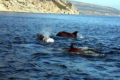 Wild Dolphin watching River Sado Portugal
