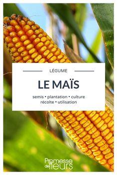 Tout savoir sur la culture du maïs #jardin #jardinage #potager #potagerbio #mais Potager Bio, Plantation, Botany, Compost, Agriculture, Gardening Tips, Planters, Vegetables, Gardens
