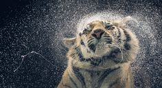 Tiger drying off