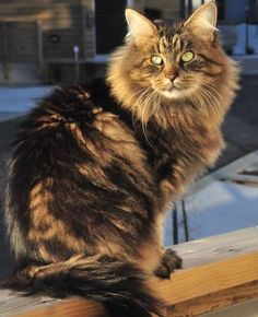 Siberian Cat i WILL have one of these beautiful things someday