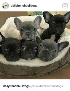French Bulldog Puppies❤️
