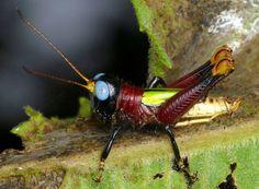 Blue-eyed Grasshopper by source