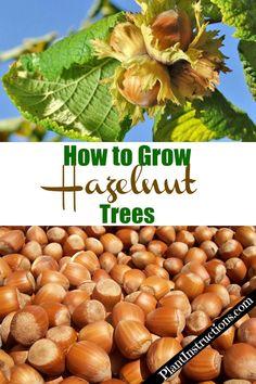 How to Grow Hazelnut Trees - Modern Design Veg Garden, Vegetable Garden Design, Fruit Garden, Garden Trees, Edible Garden, Vegetable Gardening, Indoor Garden, Growing Fruit Trees, Growing Tree