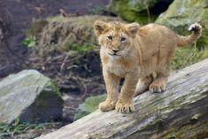 Lion Cub - I see you! by Frangster.deviantart.com on @deviantART