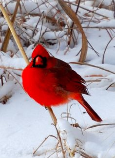 I love seeing cardinals in the middle of winter.... no matter how cold and dreary the day, that bright splash of color always makes me smile