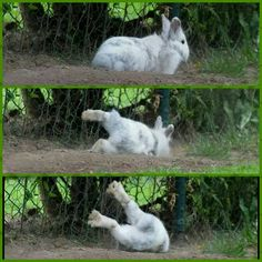 Such a graceful and agile creature...lol! -- Bunny flops!