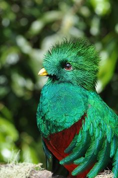 Resplendent Quetzal with iridescent Peacock-feather-colors