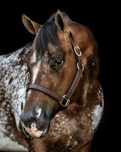 Horse – Appaloosa Horses for Sale