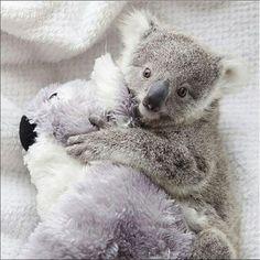 Imogen just love her snuggle toy - regram @symbiozoo #koala #animal #nature #wildlife #cutekoala #fluffy #adorable #travel #explore #discover #sydney #seesydney