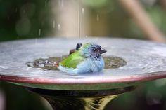 blue-bird-in-birdbath-CC-andrea-oconnell-750px Bird Feeders, Parrot, Mental Health, Organic Gardening, Birds, Outdoor Decor, Animals, Home Decor, Parrot Bird