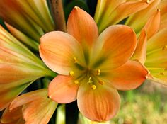Clivia miniata (Kaffir lily) is native to only South Africa. It has become a popular houseplant worldwide, however, and there are now hundreds of strikingly different looking cultivars. Cultivar Paragon