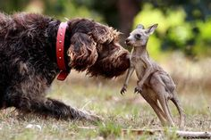 Play mates: Rex the pointer and the baby kangeroo he rescued and took home after its mother was killed on the road in Victoria, Australia