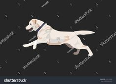 Labrador dog is running. Dog vector illustration. Labrador with collar isolated.