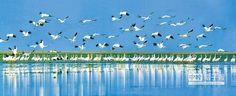 候鳥天堂──江西鄱陽湖。(張祖珍攝)