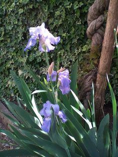 Iris del giardino di mamma !