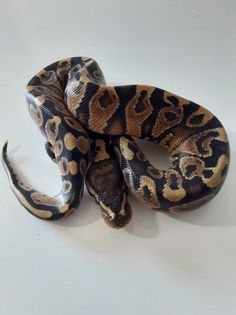 Co-Dominant Ball Python Morphs - A 2 Z Reptiles - Look at some snakes! Snake Terrarium, Bass Fishing Shirts, Ball Python Morphs, Disco Ball, Black Opal, Black Magic, Black Laces, Back To Black, Snakes
